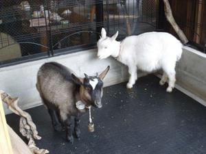 101029_goats_m101